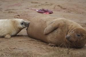 Donna Nook seals feeding