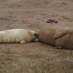 Donna Nook seals feeding