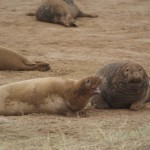 Donna Nook seals fighting