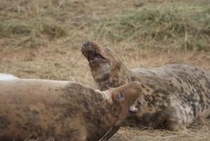Donna Nook seals fighting