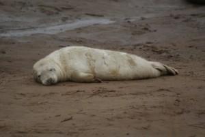 Donna Nook seals