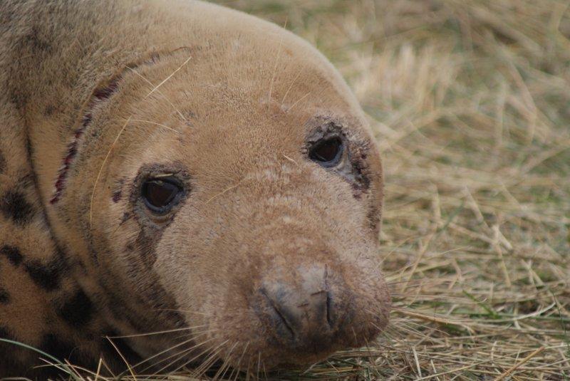 Donna Nook seals – Nov 2013